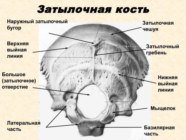 Анатомия и дисфункции затылочной кости, и структур которые с ней взаимодействуют