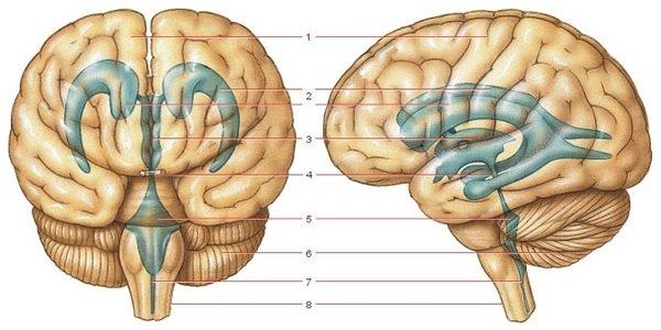 Серп и намет, мозжечка: анатомия, прикрепления, топография и биомеханика краниосакрального ритма.