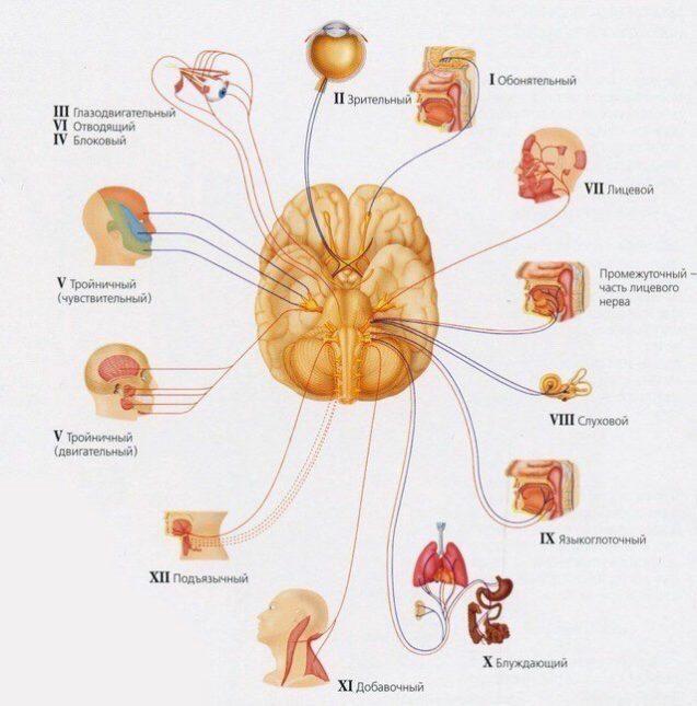 Черепные нервы
