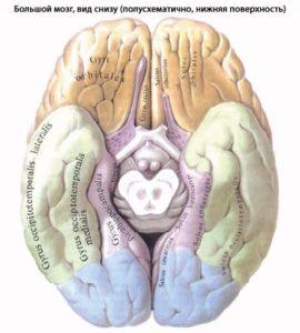 Мозг, вид снизу