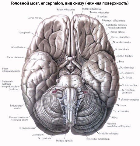 Головной мозг, нижняя поверхность