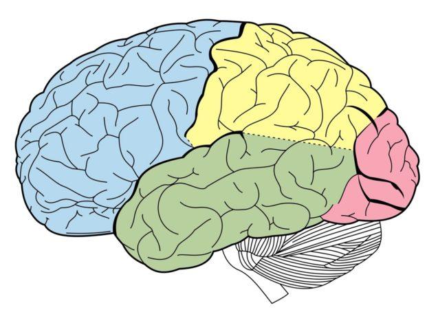 Анатомия головного мозга