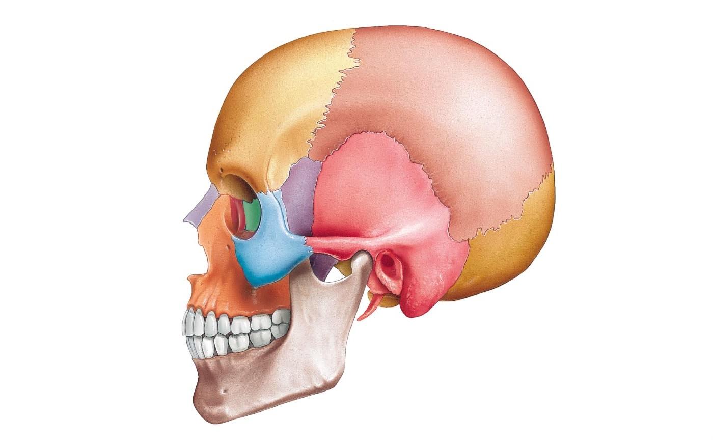 Теменная кость. Строение теменной кости
