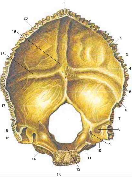 Затылочная кость
