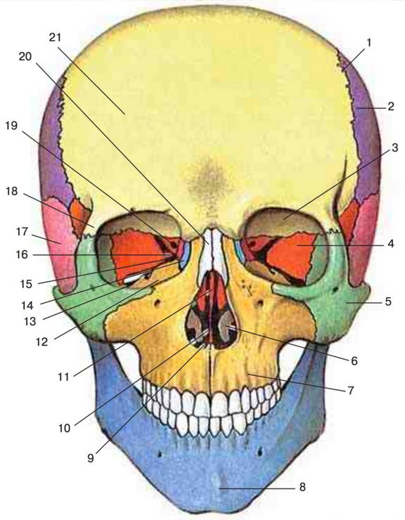 Схема строения черепа кошек заворот