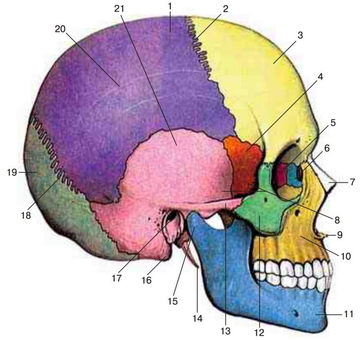 Строение черепа, вид сбоку
