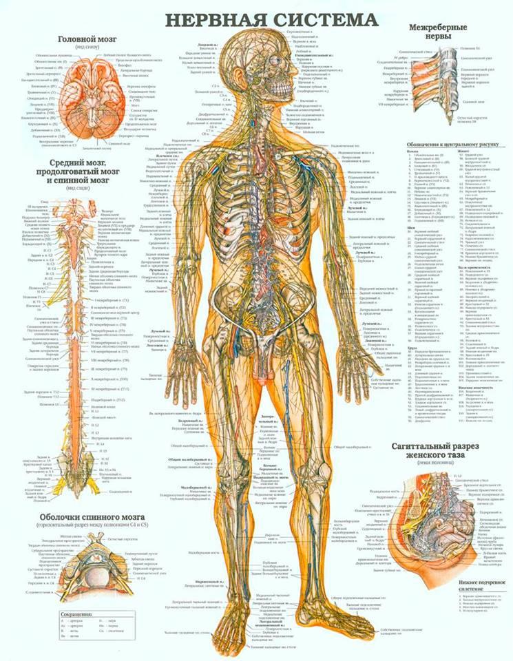 storenie-cheloveka-Нервная система