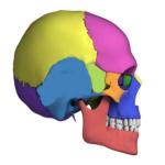 Дыхание костей черепа