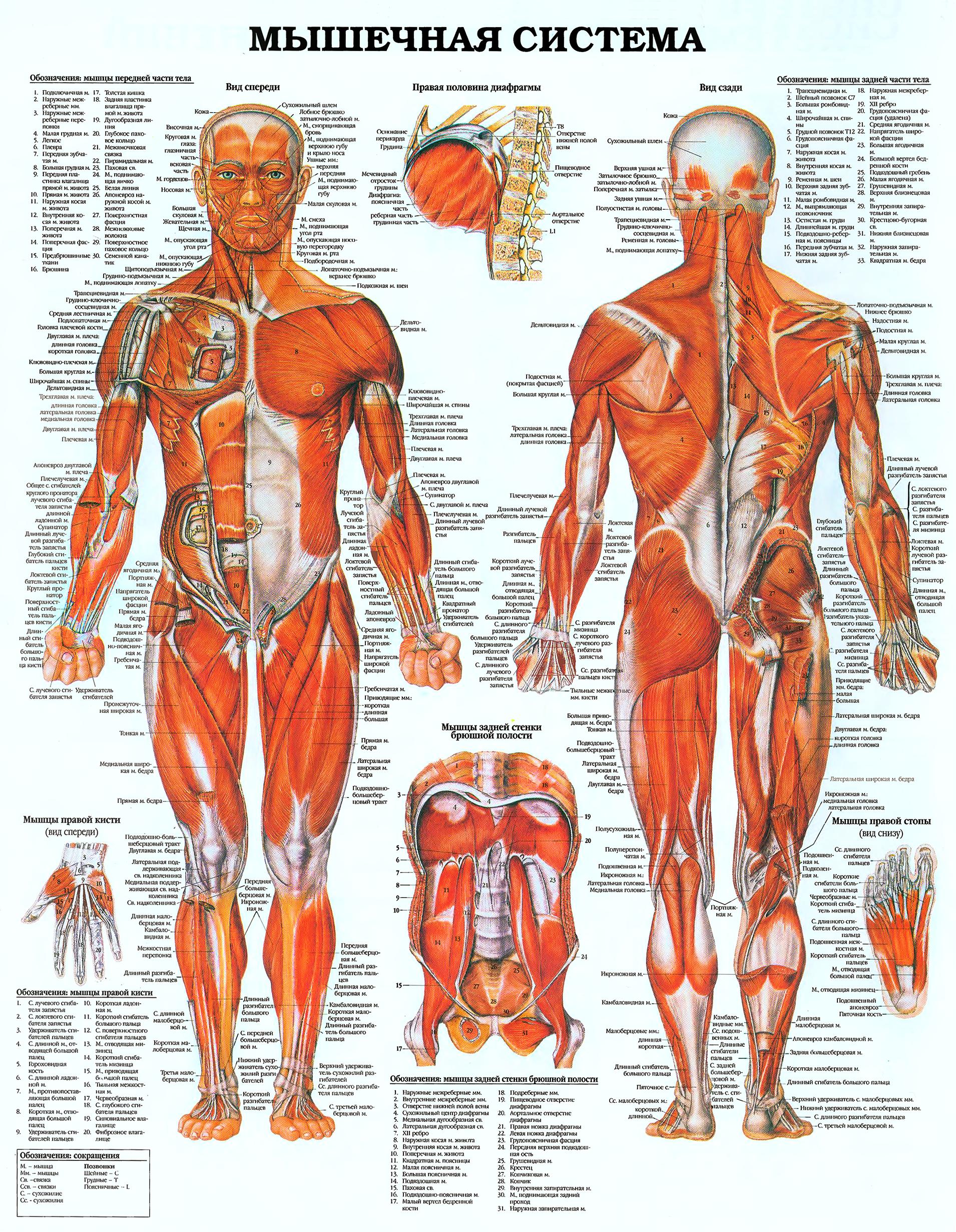 storenie-cheloveka-Мышечная-система