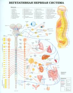 Вегетативная-нервная-система