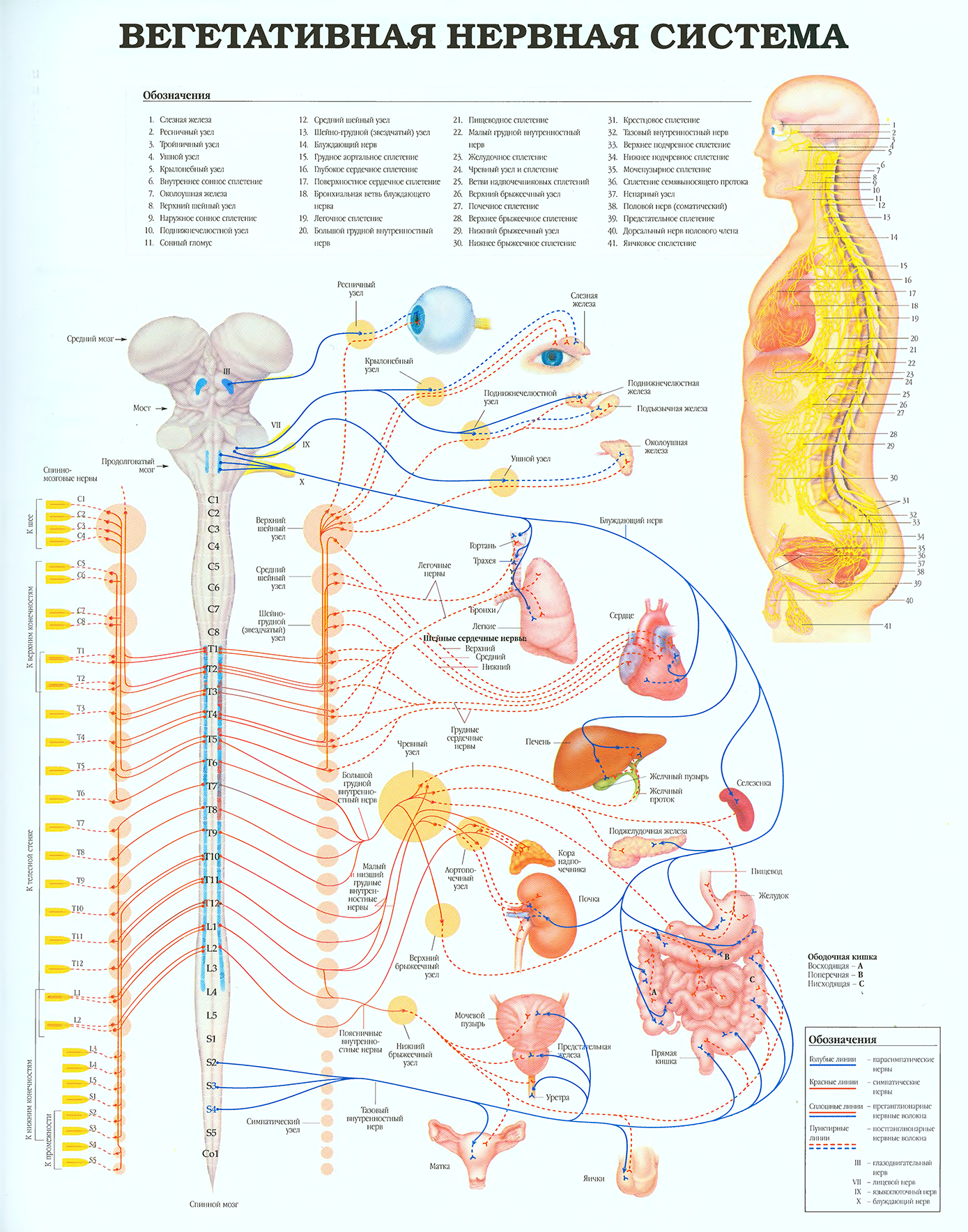 storenie-cheloveka-Вегетативная-нервная-система