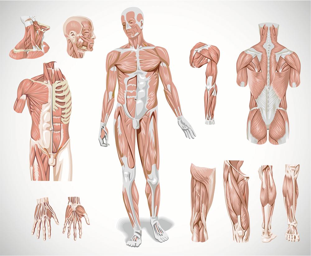 внимание, мышцы человека в картинках приватный