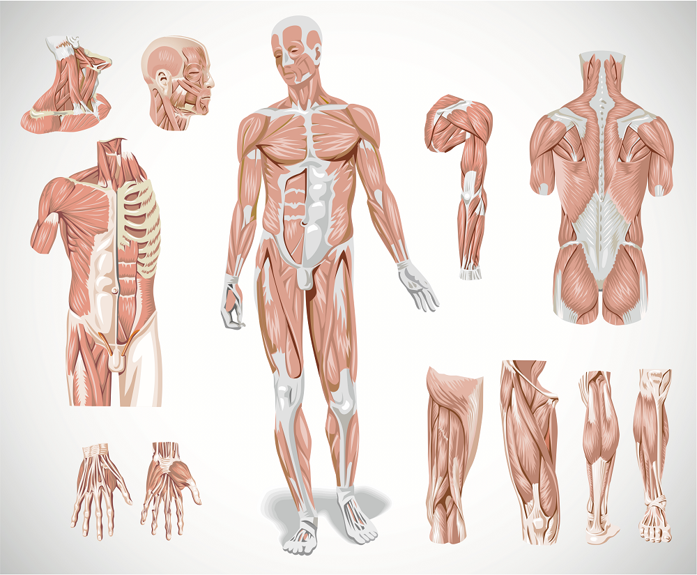 Картинки к анатомии