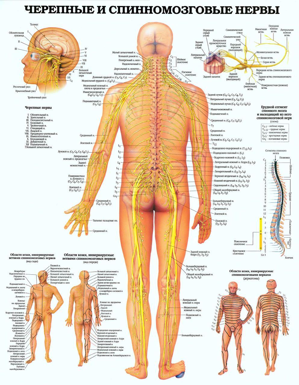 Черепные и спинномозговые нервы
