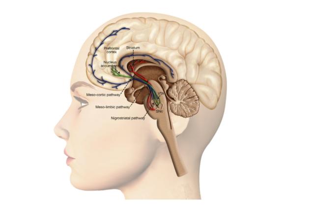 Триединый мозг, как карта психосоматических состояний