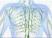 лимфатическая система в остеопатии