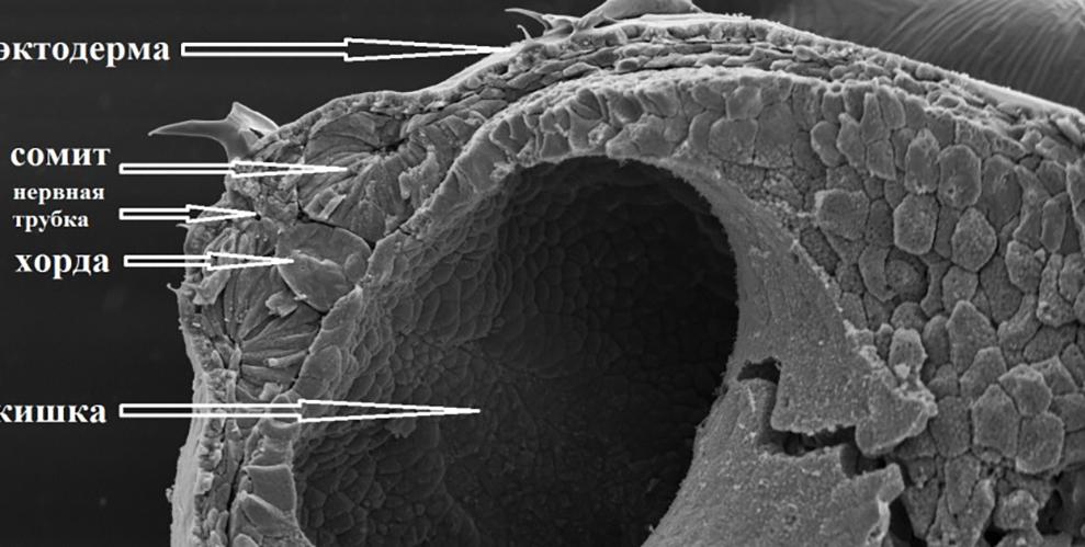краниосакральная биодинамика эмбриологии